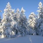 Verschneite Bäume