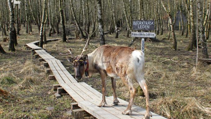 Rentier im Tierpark Sababurg